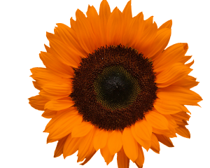 Orange Sunflower Digital Scrapbooking Free Download