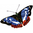 Independence - Blue Butterfly