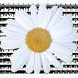 Radiant Rain - Element - daisy