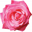 Painted Pink Rose