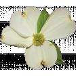 Dogwood Flower 01