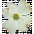 Dogwood Flower 03