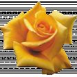 Yellow Rose 02