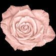 Lt Coral Rose