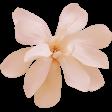 Peach magnolia blossom