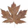 Autumn Day Maple Leaf 2