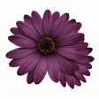 Plum & Marigold - Purple Daisy Sticker Dark