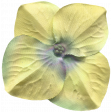 Flower Yellow - Dream Big