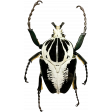 Gothical - Elements - Goliath Beetle