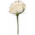Jane - Elements - White Dried Rose
