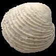 Summer Splash - Elements - White Seashell