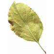 Leaves No.1 – Leaf 5