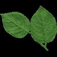 KMRD-202105DC-Cherry Blossoms-leaf