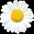 Picnic Day - Daisy