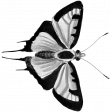 Butterfly Template 069