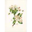 Apple Crisp - Apple Blossoms Ephemera 02