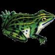 Pond Life - Frog