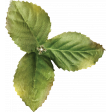 Strawberry Fields - Leaf Cluster