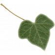 TeaTime-MiniKit - Ivy Leaf