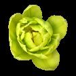 Lime Tulip