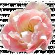 Pink Spring Rose 2