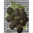 Into the Woods - Blackberries