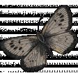 Inner Wild Gray Butterfly