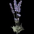 Lavender Fields Lavender