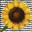 Reach For The Sun Sunflower