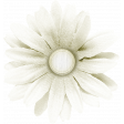 Peach Lemonade White Flower