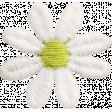 Mulberry Bush Daisy Flower