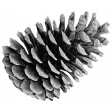 Outdoor Adventures - Element Template - Pinecone