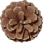 Outdoor Adventures- Pine Cone Flower 02