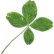 The Lucky One - Real 4 Leaf Clover
