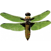 Summer Fields- Dragonfly