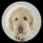 Goldendoodle Dog Glass Magnet