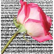 Rose 07