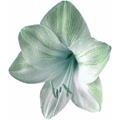 Green and white lilly