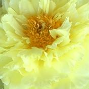 Flower Background- Yellow Peony