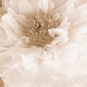 Flower Background- Vintage Peony