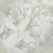 Flower Background- Autumn Clematis 1