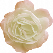 Jane- White and Pink Rose