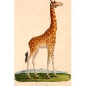 Ephemera African Animal 11