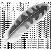 Oregonian Feather