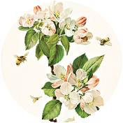 Apple Crisp - Apple Blossom Brad Disk 10