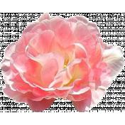 Pink Spring Rose 1