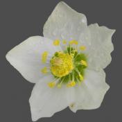 Wet Spring Flower 1