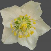 Wet Spring Flower 2