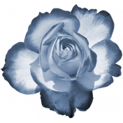 Blue Two Tone Rose 1