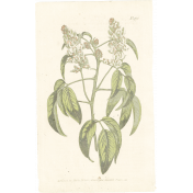 May Good Life- Luncheon Antique Botanical Card